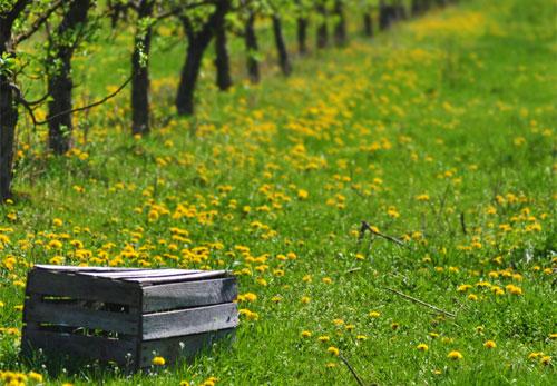orchard_500x347